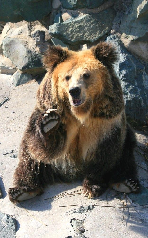 Tibetan Blue Bear waving to tourists