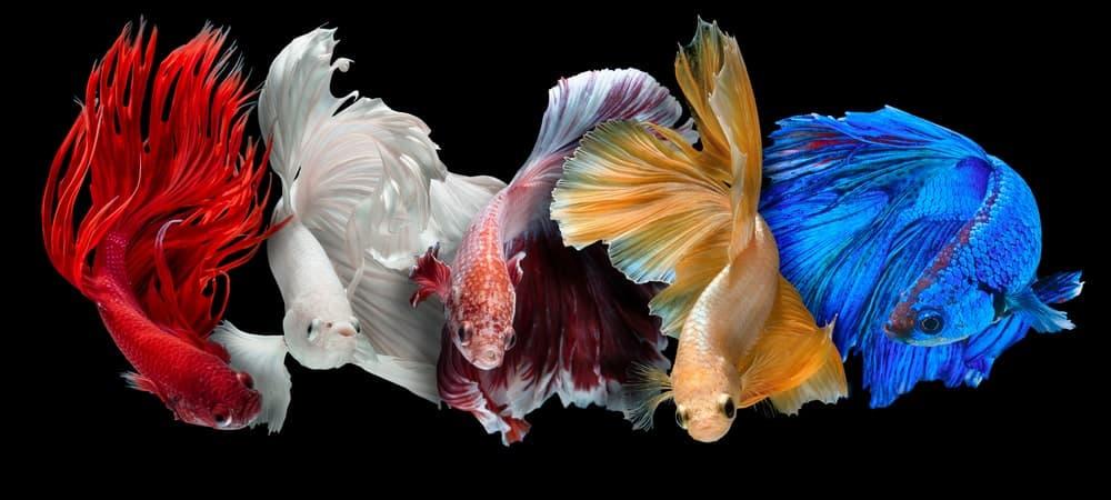 Five Siamese Fighting Fish