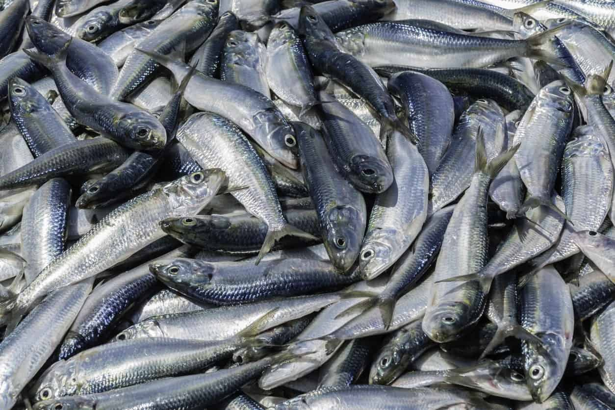 Bluefish for sale