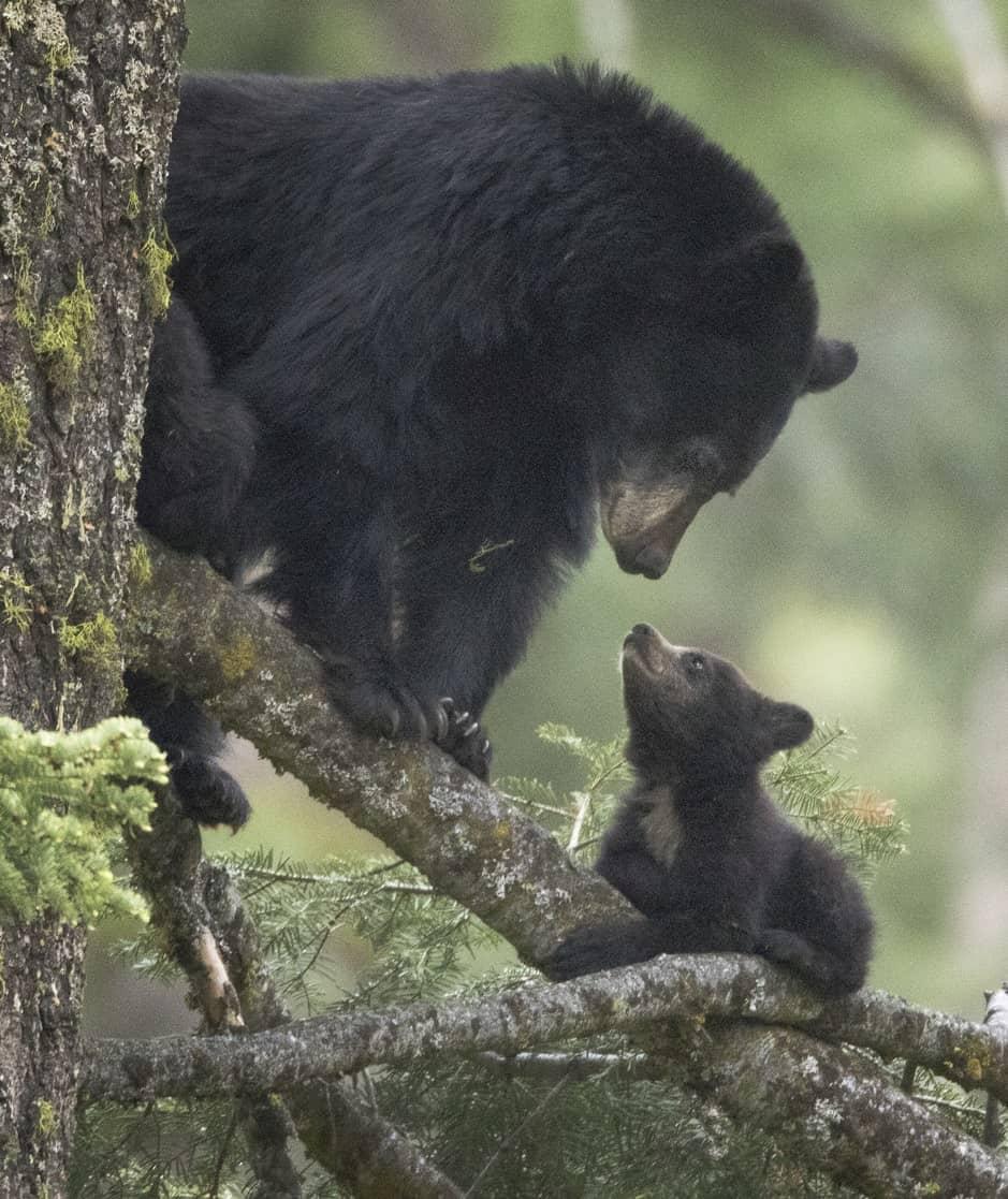 American female black bear