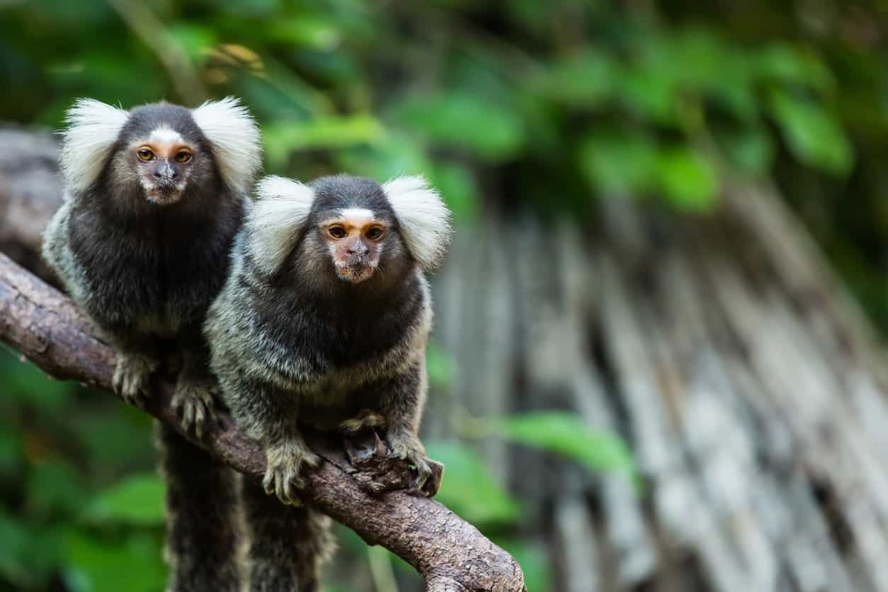 Wild Marmoset Monkey