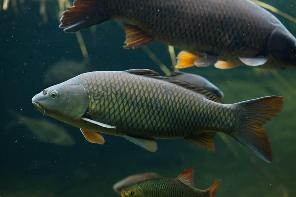 Wild common carp