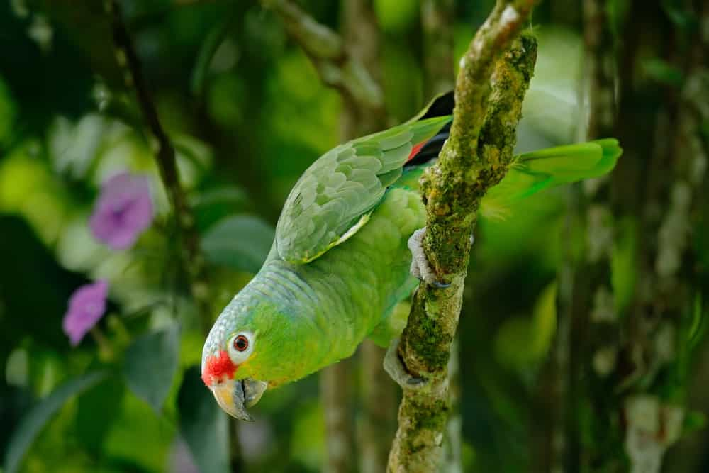 Green Amazon Parrot with Red Head