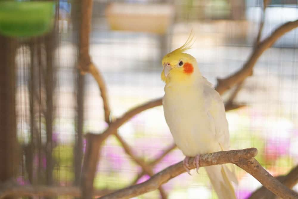 A cockatiel sitting on a tree