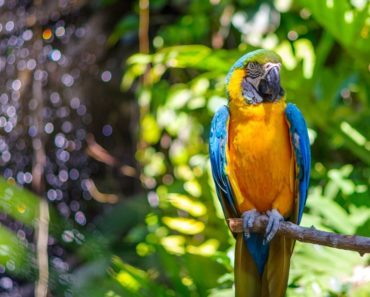 Blue Throated Macaw in a Park