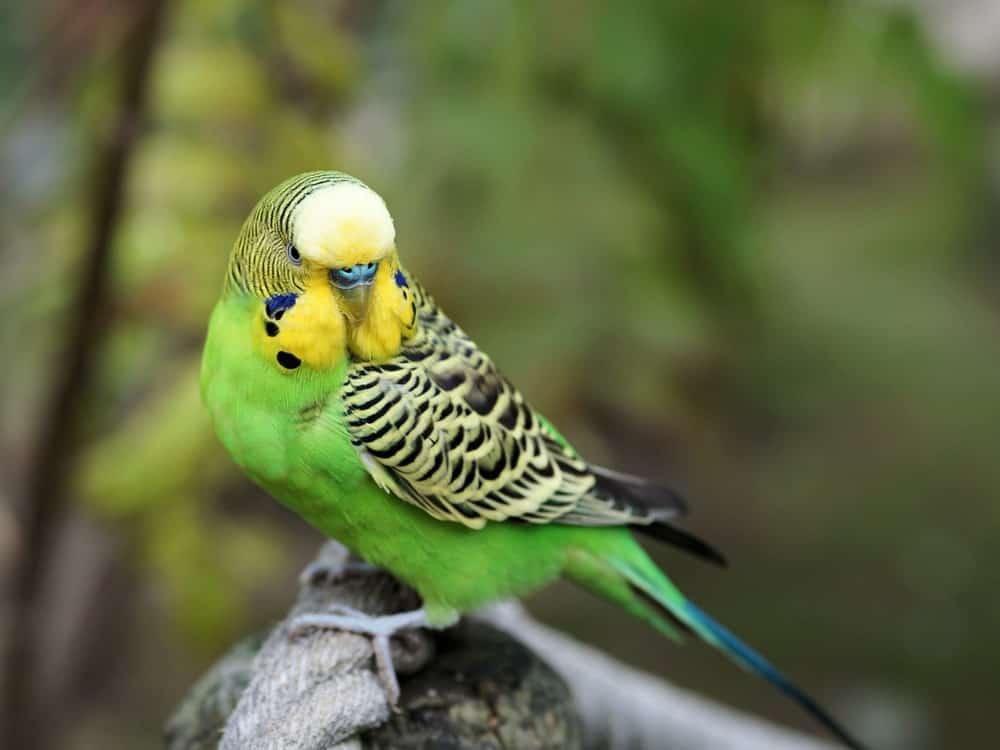 Green Budgerigar Parrot