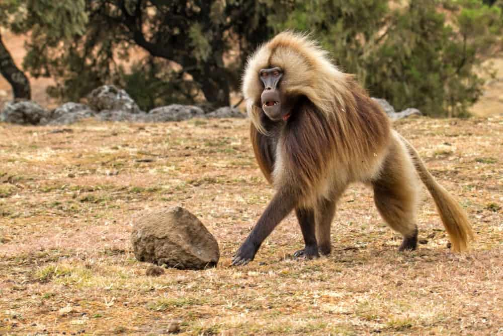 Baboon male