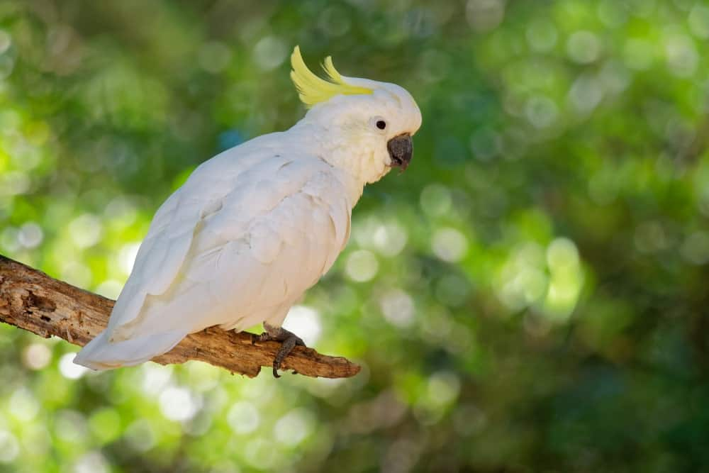 A White Cockatoo with Yellow Head