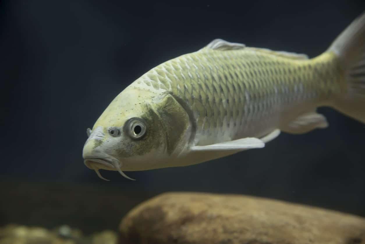 Tench fish