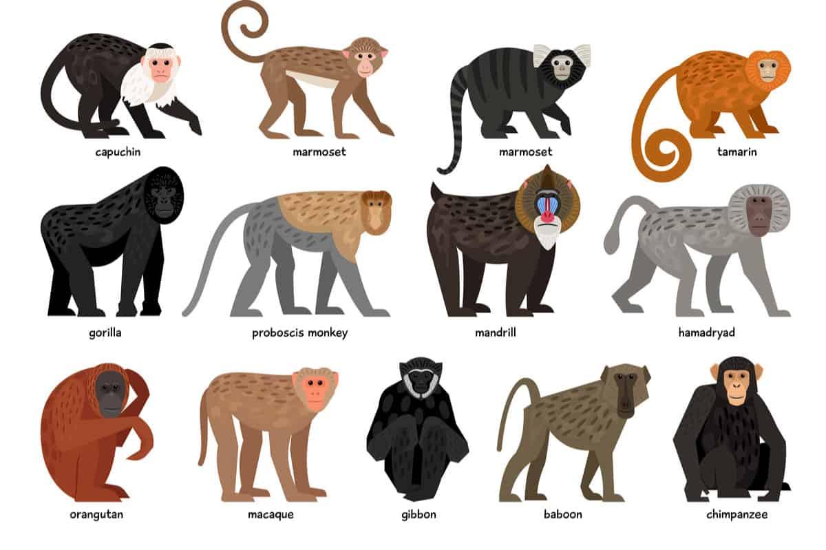Monkey types chart