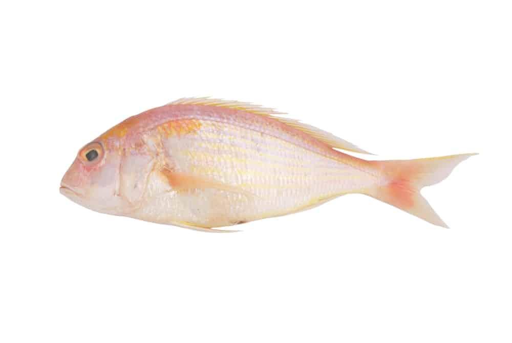 Seabream fish