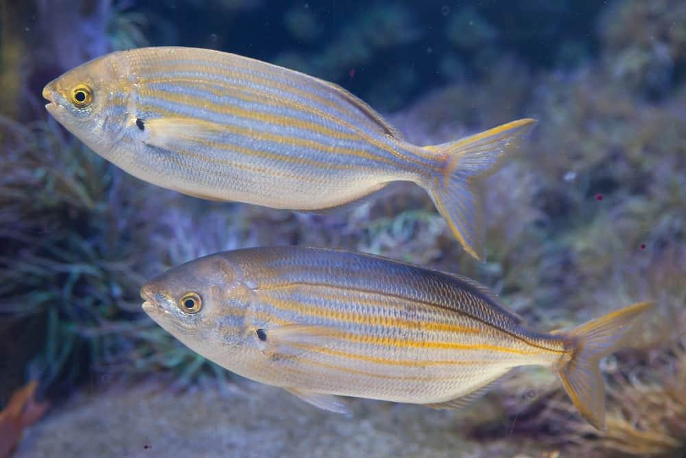 Salema porgy fish