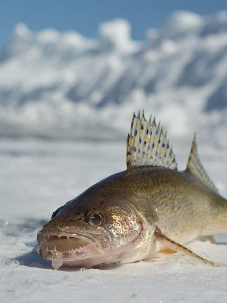 Minnesota Sauger Fish