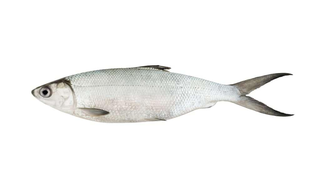 Baltic whitefish