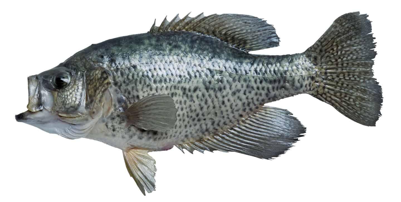 Black crappie fish