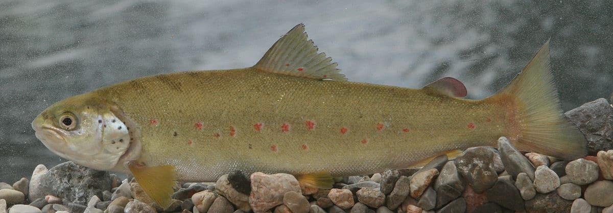 Adriatic trout