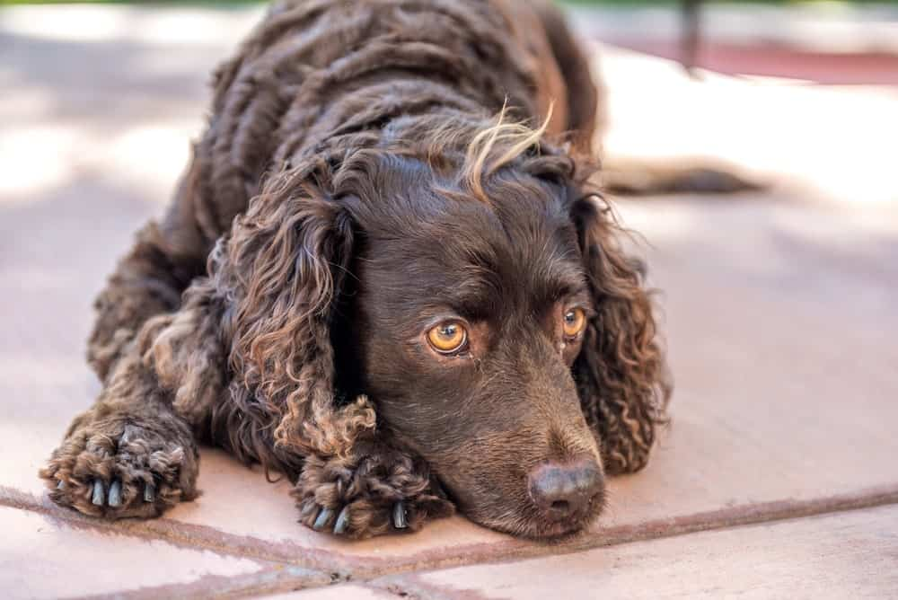 An American Water Spaniel Resting on the Ground