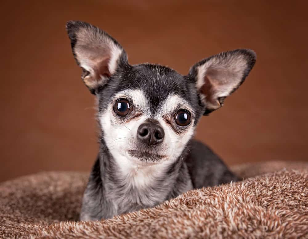 Chihuahua with an Apple Shaped Head