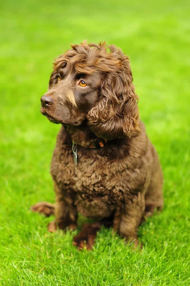 A brown colored dog sitting on green grass