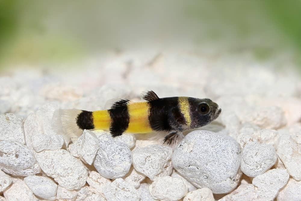 Bumblebee Catfish under the Sea