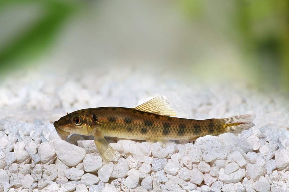 Chinese Algae Eater Catfish in the Sea