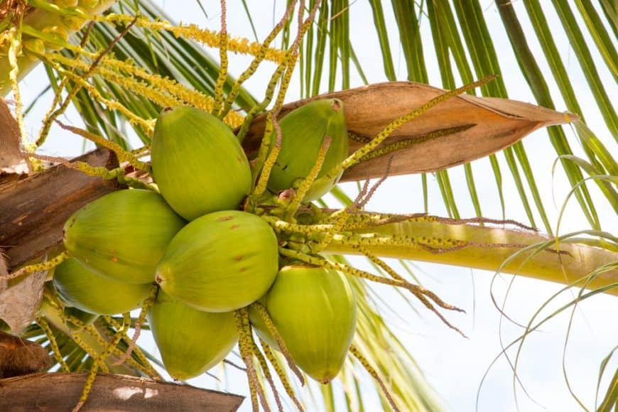 Green Coconuts hanging From Coconut Tree