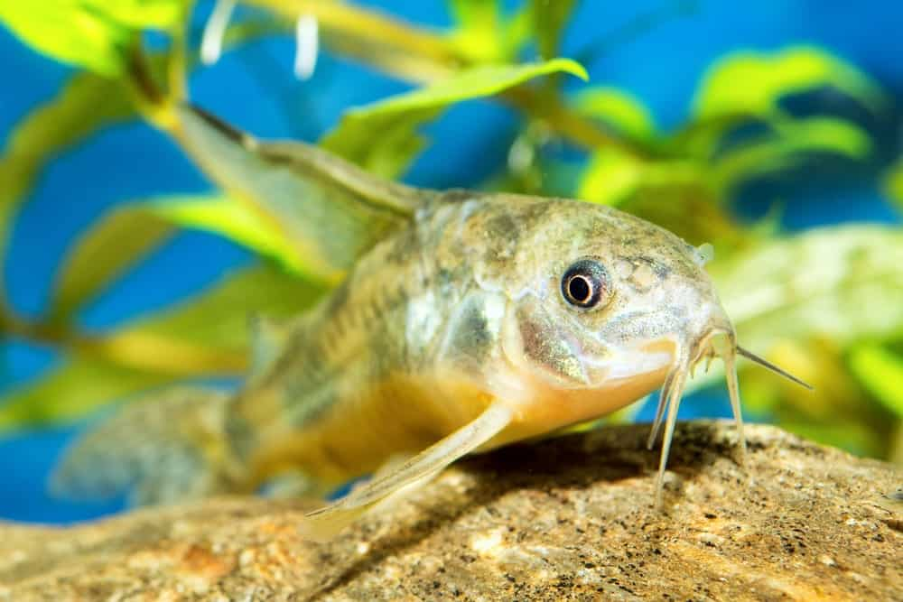 Cory Catfish in the Waters
