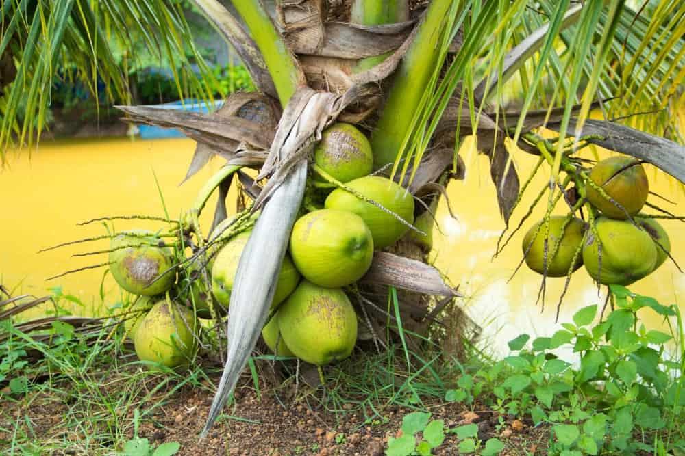 Mini coconut trees in a field