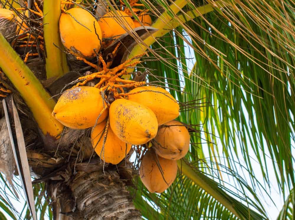 Dwarf Coconut Tree with Orange Fruit