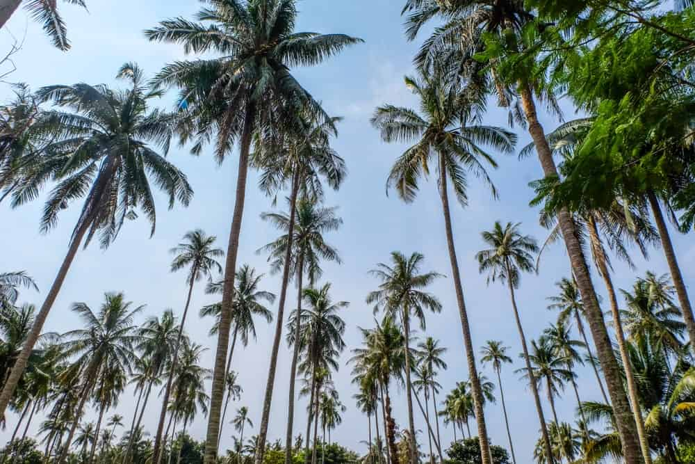 A Collection of East Coast Tall Coconut Trees