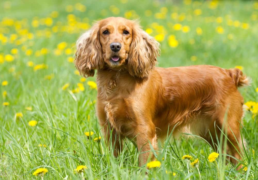 An English Cocker Spaniel Standing Tall