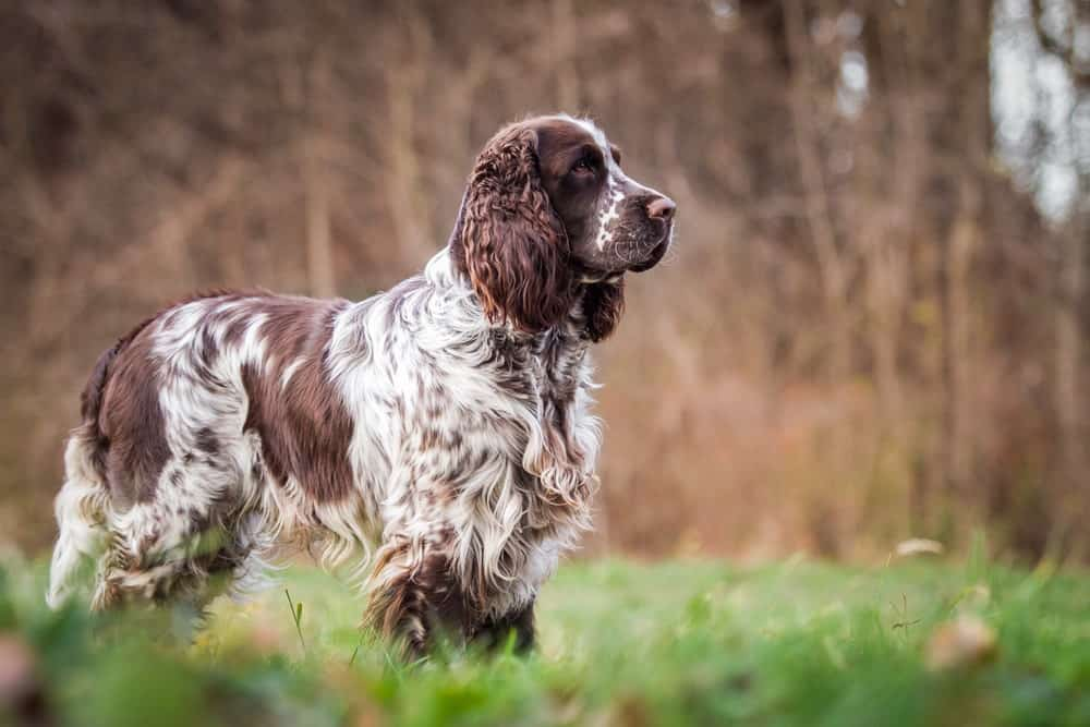 An English Springer Spaniel In the Fields