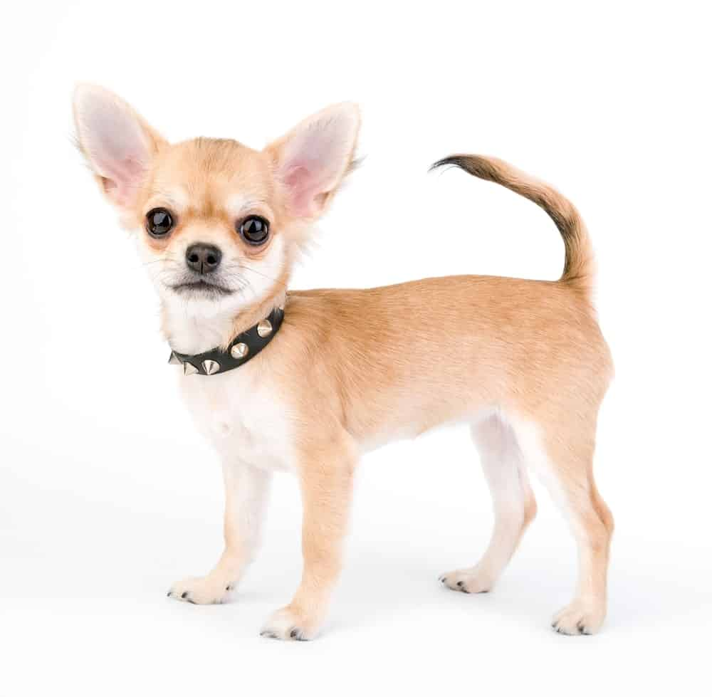 A fawn-colored Chihuahua