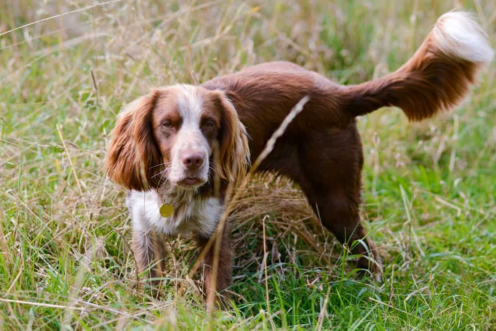 A Field Spaniel in the Park