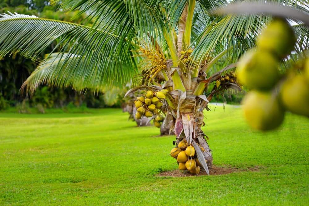 A Fiji Dwarf Coconut Tree with Fruit
