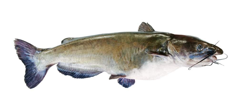A multicolored flathead fish