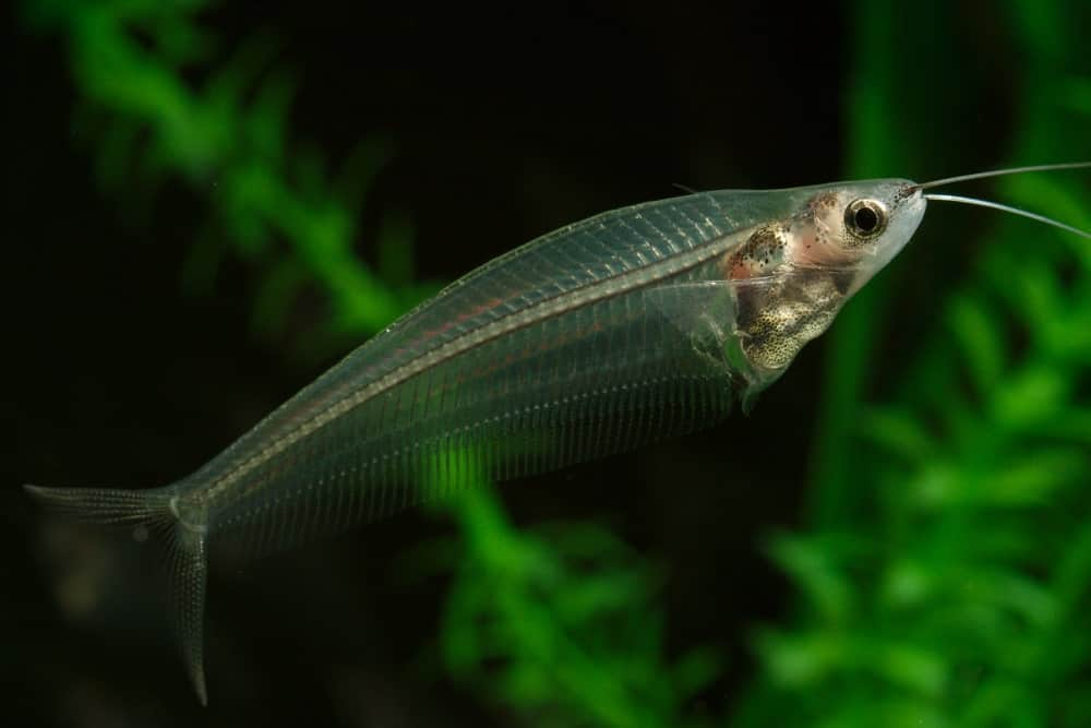 Glass Catfish swimming in the water