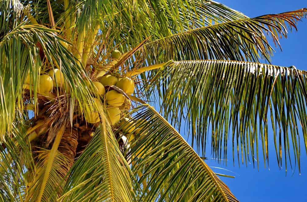Striking orange coconuts hanging from a tree