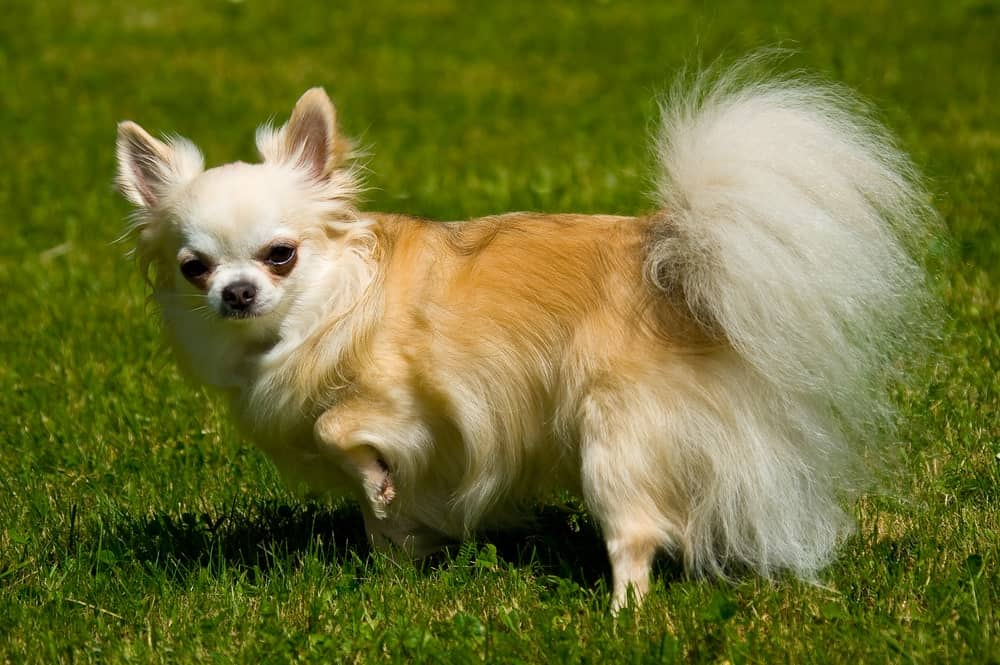 Chihuahua with a Long Haired Coat