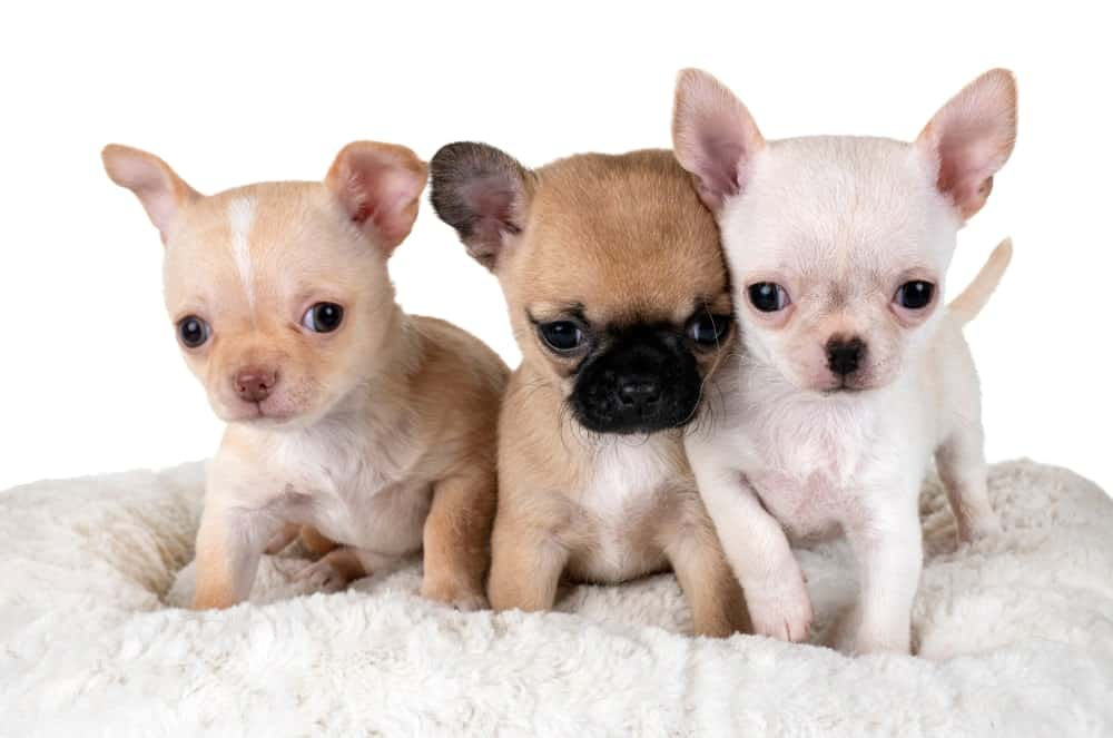 Three Tiny Chihuahuas against White Background