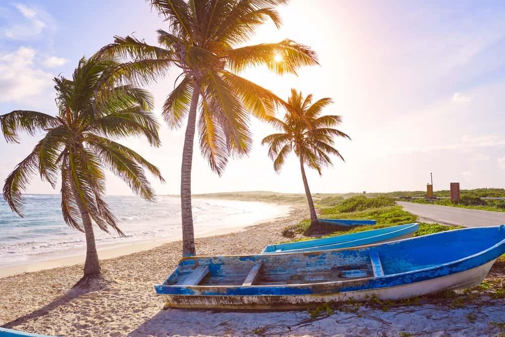 Tall Maypan Coconut Trees