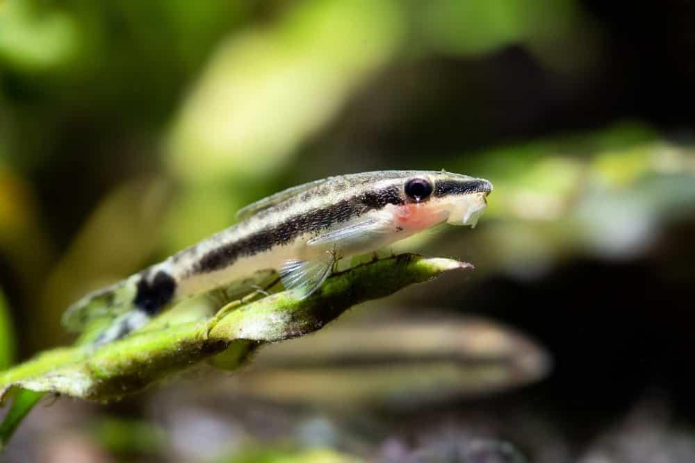 Otocinclus Catfish in the Sea