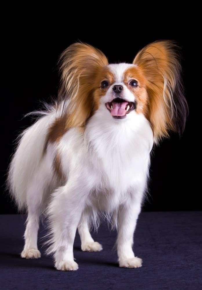 A Papillion Dog against Black Background
