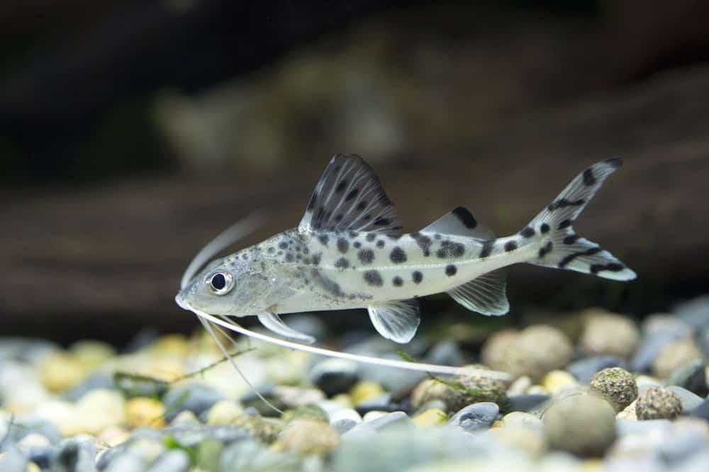 Pictus Catfish in the Sea