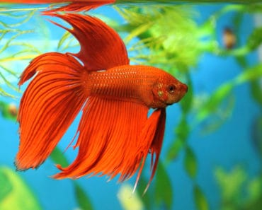 Red Betta fish in aquarium