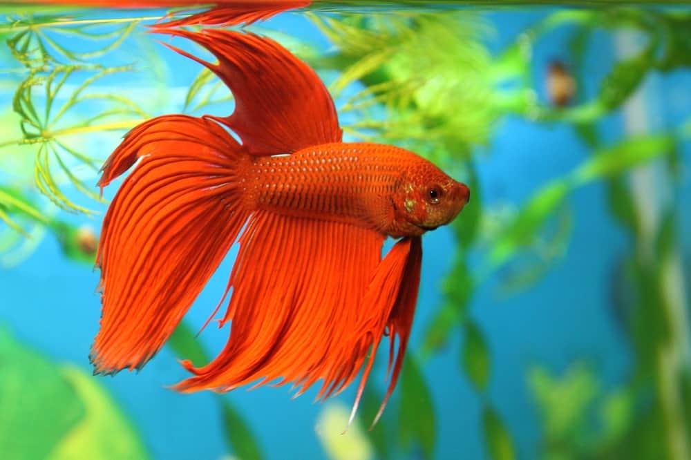 Red Betta fish in aquarium