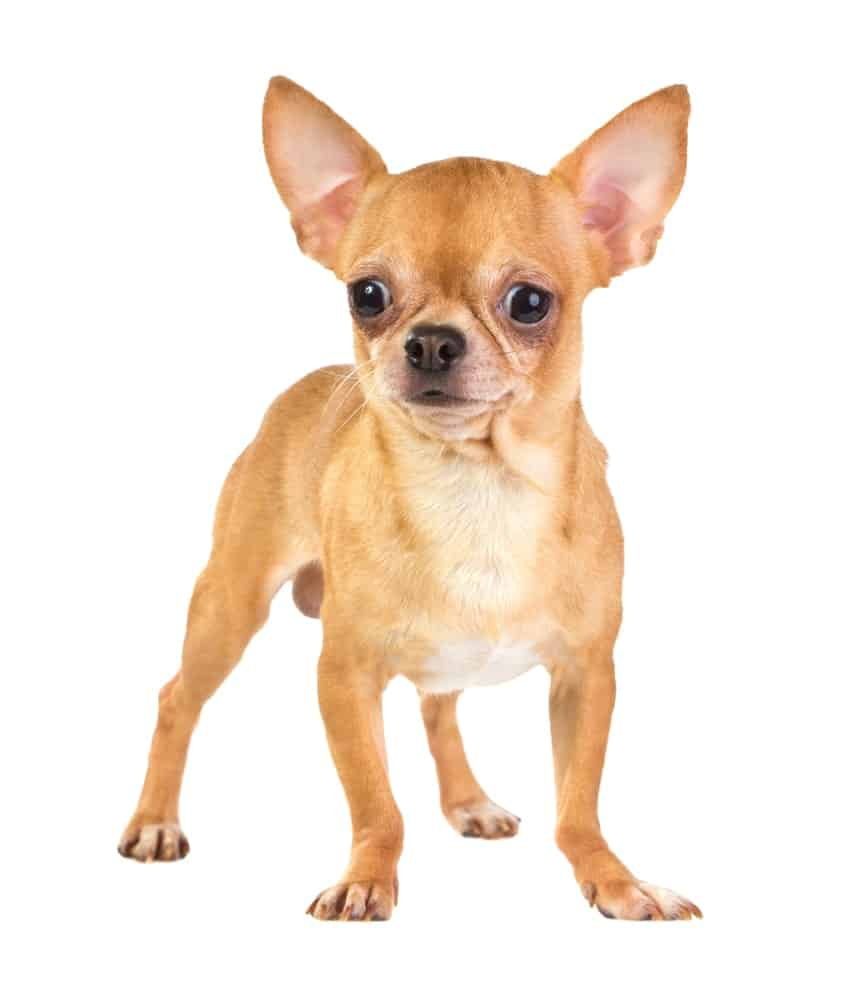 Chihuahua with a Smooth Coat