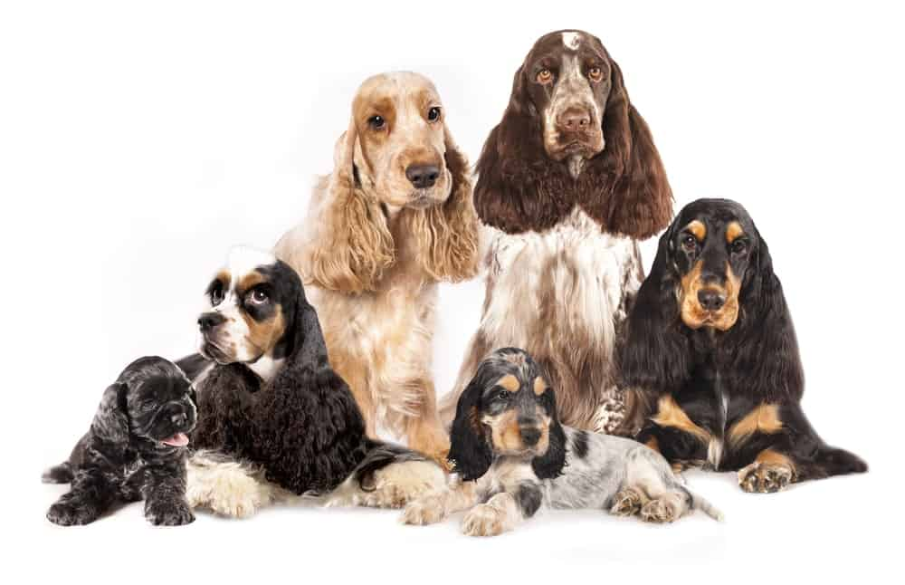 A Group of Spaniel Dogs