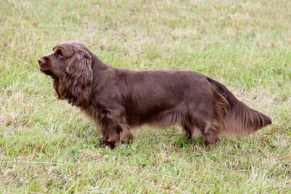 A Brown Spotted Russian Spaniel