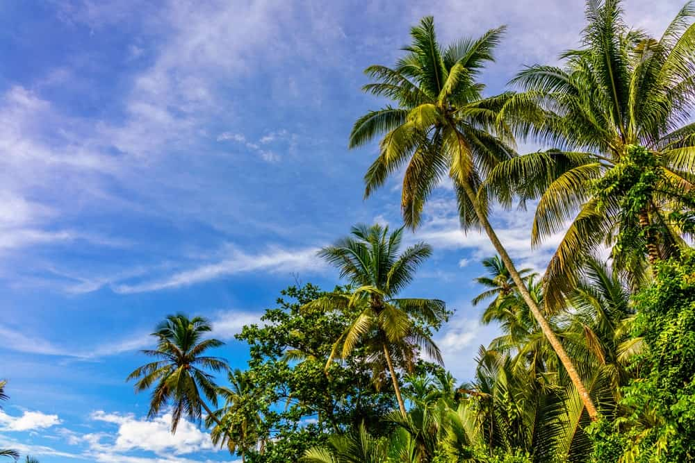 Tall Coconut Trees with Fruits
